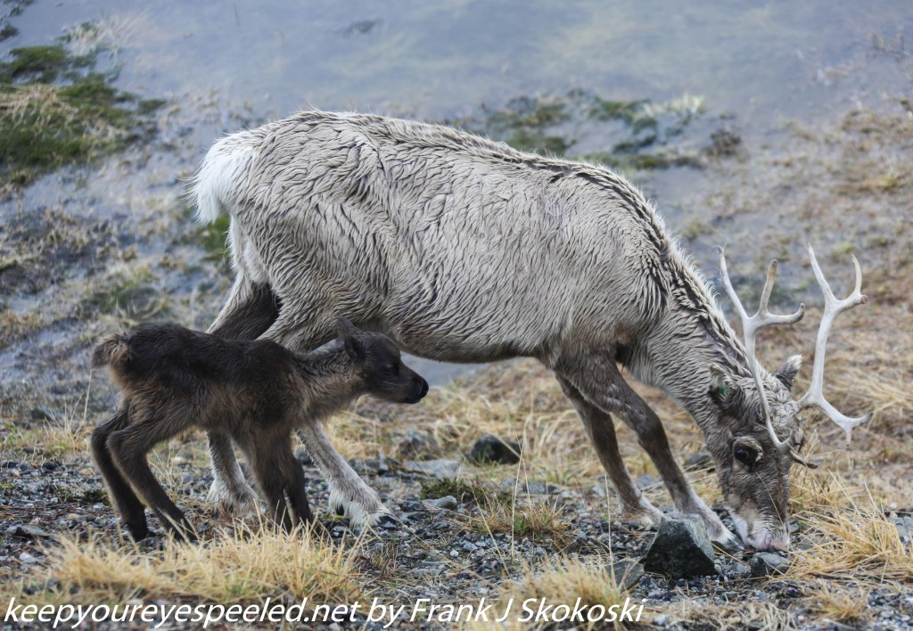 mother reindeer with new born