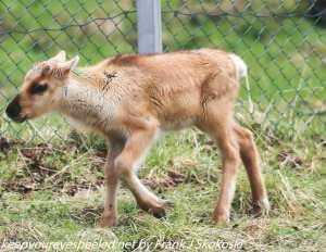 reinder calf