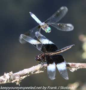 dragonflies on twig and in flight