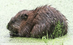 muskrat eating duckweed