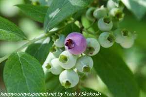 unripe high bush blueberries