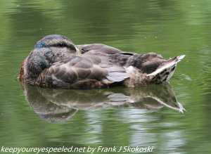 mallard duck sleeping on water