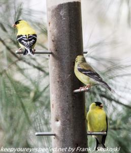 gold finches at feeder