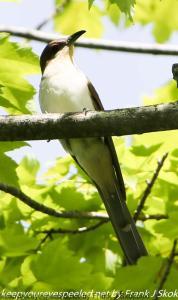 black-billed cuckoo on branch