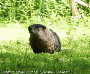 groundhog on trail