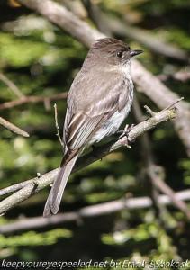 flycatcher in tree