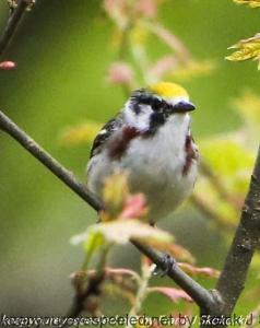chestnut sided warbler on branch