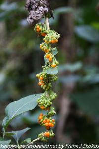 wild tobacco fruit