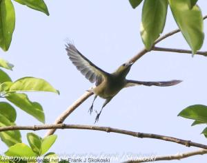 palm tanager in flight