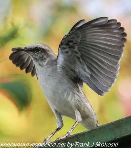 tropical nightingale