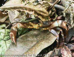 land crab on trail