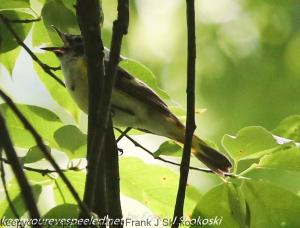 female american redstart singing in tree