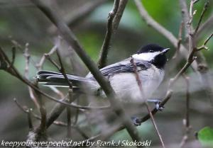 black-capped chickadee in tree