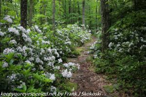 mountain laurel on trail