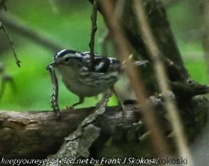 black and white warbler with grub