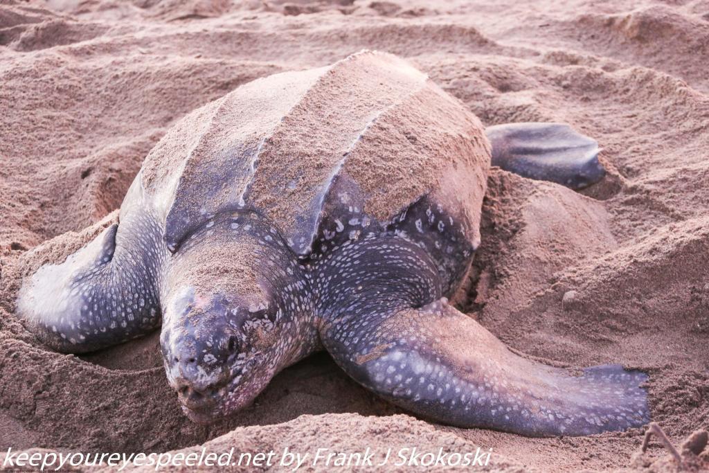 Trinidad Day Seven Grande Riviere turtles May 1 2019 (15 of 36)