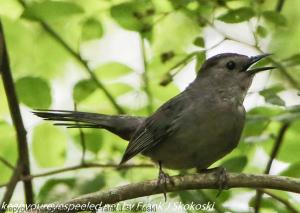 catbird in tree