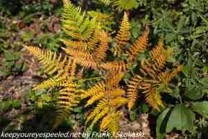 ferns turning brown