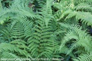 hayscented ferns