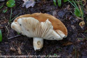 russula mushroom