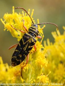 beetles on goldenrod flowers