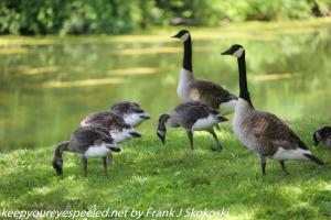 first day of summer canada geese family