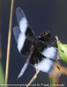first day of summer dragonfly