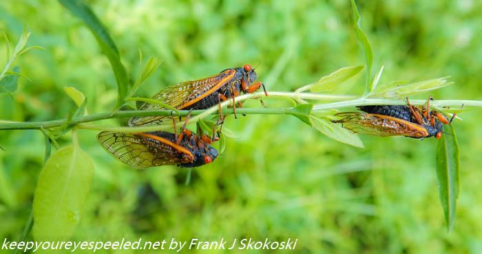 Nockamixon cicadas (15 of 30)