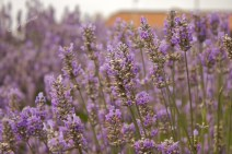 A Little Calm - Lavender