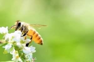 ミツバチがいなくなると人類は滅亡するのか