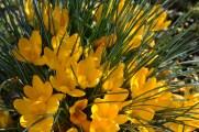 Frühlingsblüher 004