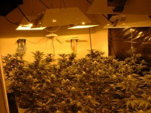 Marijuana031904_fig1