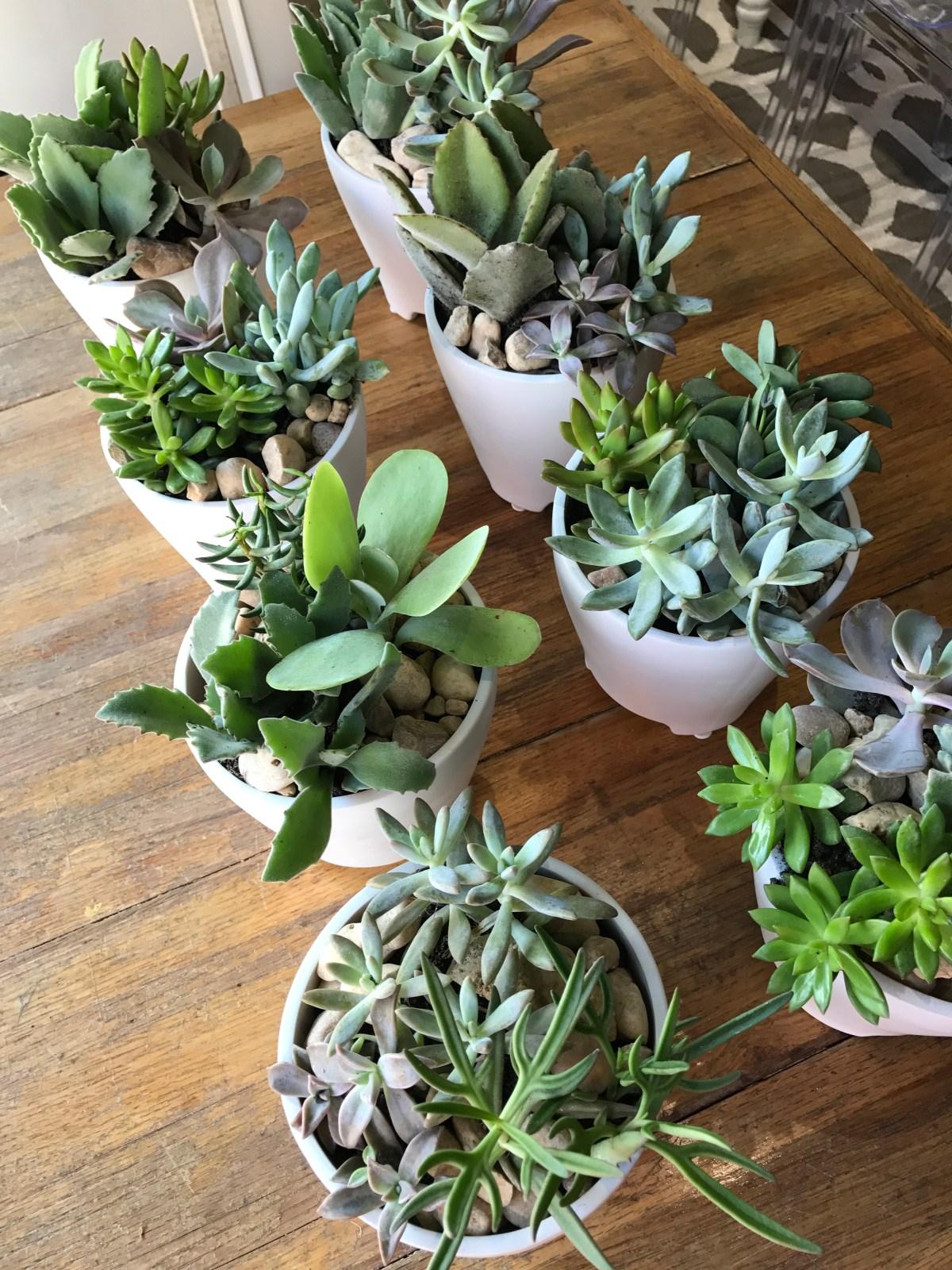 Potted Succulents, Florida Cactus
