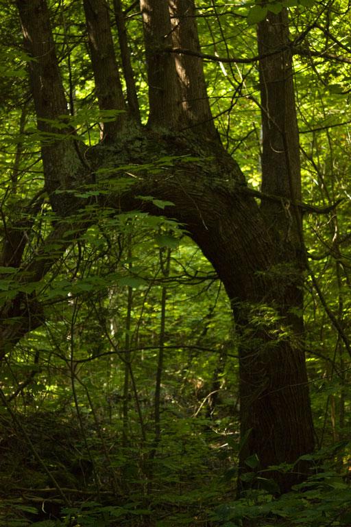 Bent_Tree_close