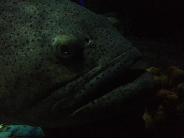 The giant grouper fish who played with me through the aquarium glass !?!
