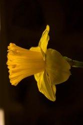 YellowDaffodil2