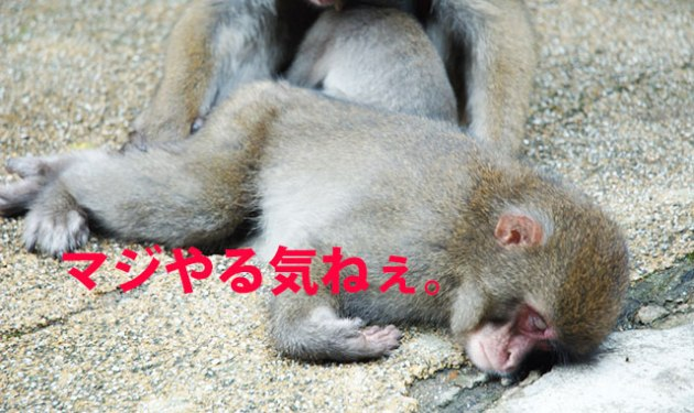 Japanese_Macaques_sleeping