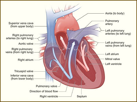 interior heart diagram wiring for radio 2004 chevy impala how the works view keith ahrens illustration shows a cross section of healthy and its inside structures blue arrow direction in which low oxygen blood flows from