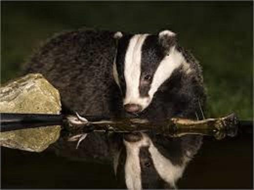 badger-looking-at-water