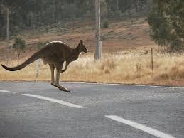 a kangeroo hopped up