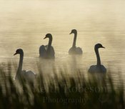 d19453-mute-swans-yetholm