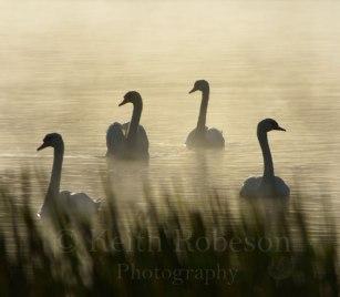 d19453-mute-swans-yetholm