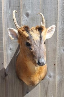 Taxidermy by Gary Tatterton - Munty Buck