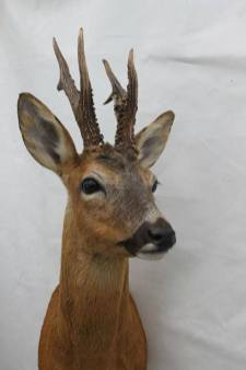 Taxidermy by Gary Tatterton - Roe Buck