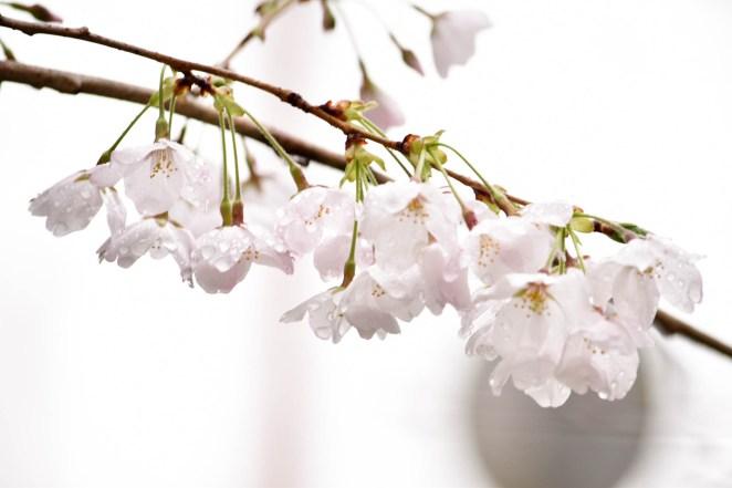 Sakura in Philosopher's Path, Kyoto