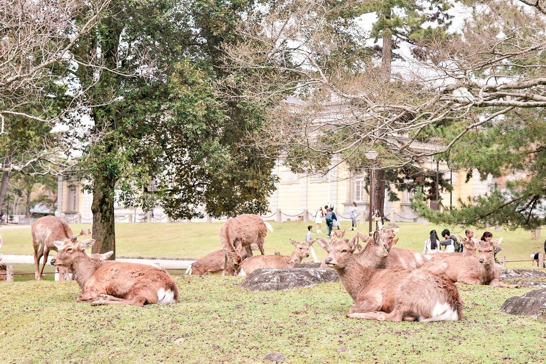 Resting deer in Nara Park