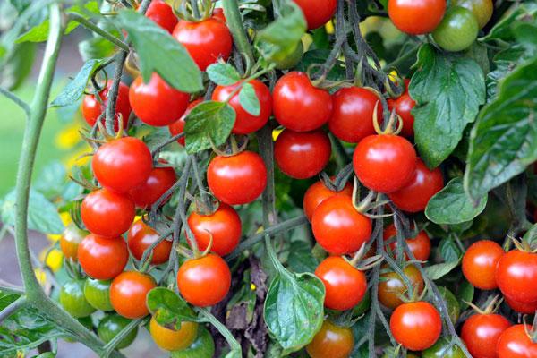 cherry_tomato_cerise_bunch_grappe_delivery_lebanon