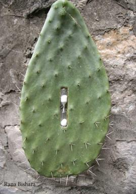 Rana Bishara, 'As-sabr [two meanings: prickly pear or patience]', 2012, cactus and salt timer. Image courtesy RanaBishara.wordpress.com.