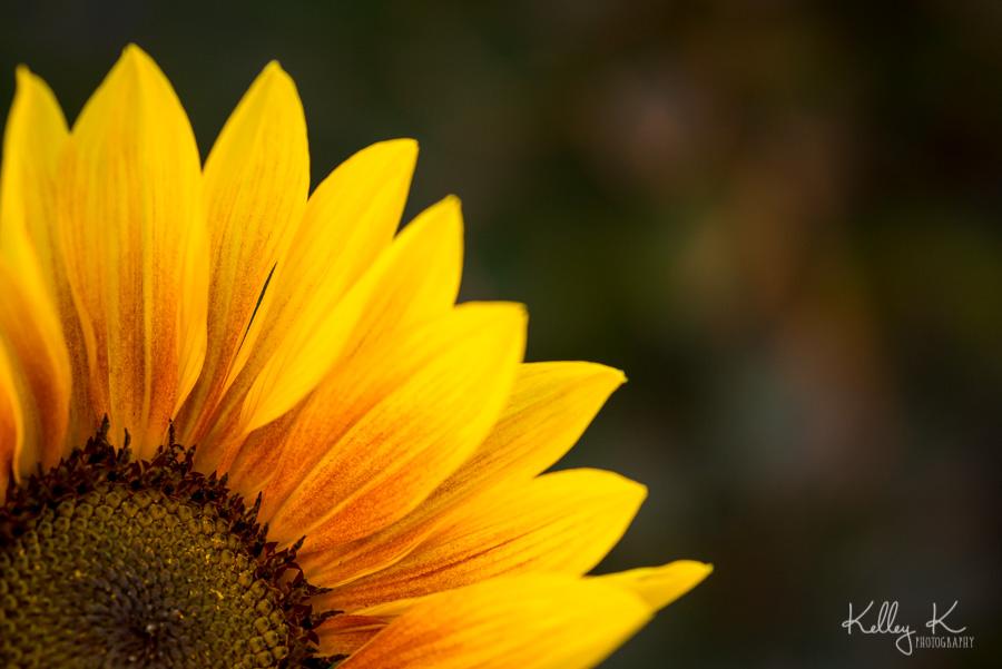 Sunflower-macro-KelleyKPhotography-SmyrnaGA
