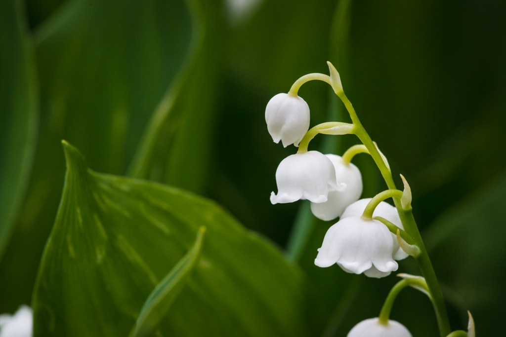 Macro photograph of lily of the valley flower